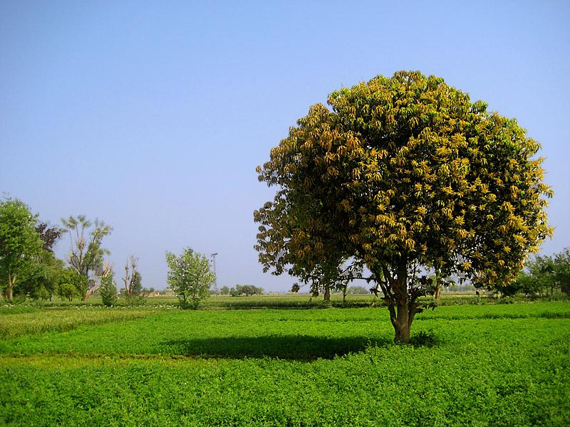 Το ξύλο μάνγκο και η χρήση του