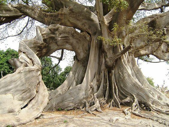Το τροπικό δέντρο καπόκ και το μεταξοβάμβακο